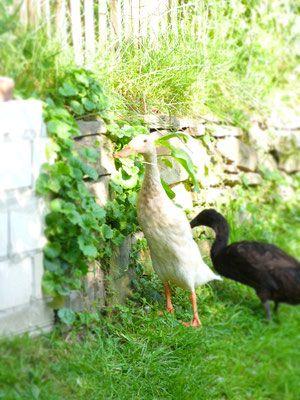 Neben den Hühnern leben drei Laufenten bei uns. Ein Erpel mit zwei Damen. Die drei halten unseren Garten seit drei Jahren absolut Schneckenfrei.