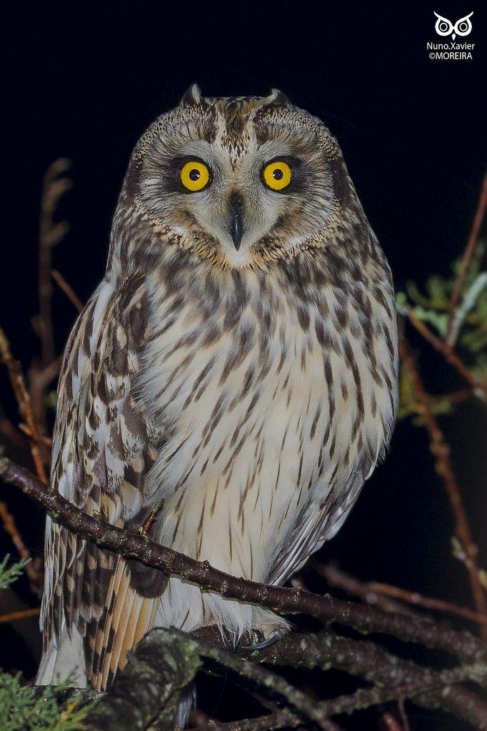 Coruja do Nabal Short-eared Owl (Asio flammeus)