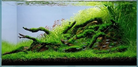 Nature - planted aquarium