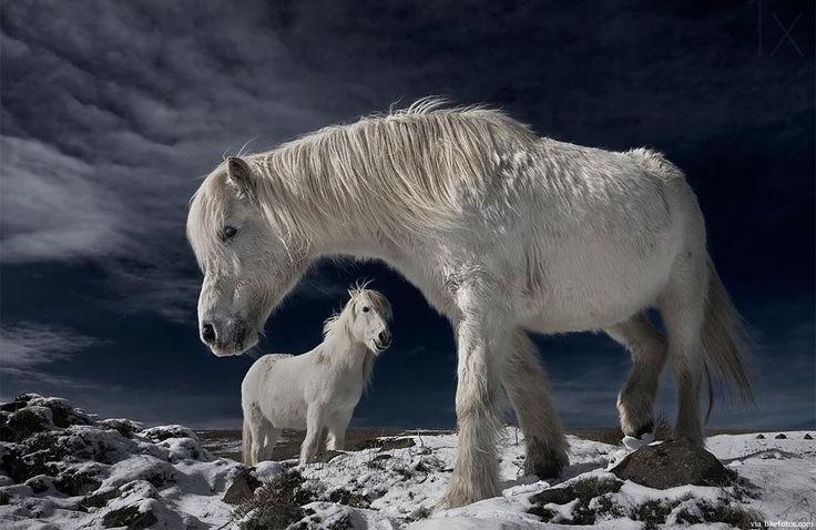 Dois raros cavalos brancos da Islândia no seu habitat natural. O cavalo Islandês é um tipo de cavalo robusto, que vive por longos anos e curiosamente tem apenas cerca de 140 – 150 cm de altura (pónei). Igualmente a percentagem de cavalos com a pelagem branco é de cerca de 1% sendo a mais comum …