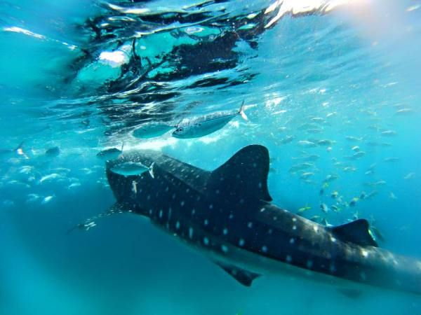 Swimming with Whale Sharks in Oslob in the Philippines Experience with sunsettravellers.com
