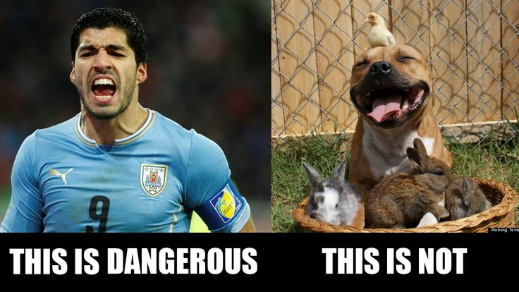 you oughta know the difference!   #suarez #suarezbite #uruguay #italy #worldcup2014 #disgrace #football #pitbull #dogs #animals