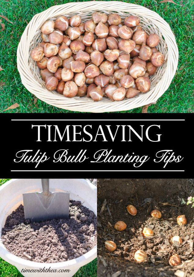 Timesaving Tulip Bulb Planting Tips ~ Timesaving tips for planting tulip bulbs so you have gorgeous healthy tulips growing in your garden every spring! One of the tips has something to do with ceramic floor tiles. Who knew they would be such a fabulous time-saver?/ timewiththea.com