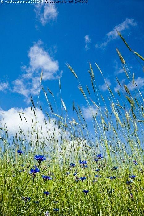 Ruiskaunokit ruispellossa - kesäpäivä valoisa aurinkoinen kukka kukat ruiskaunokki sinitaivas kesä rehevä taivas pilvet poutapilvet ruiskaunokit ruis ruispelto pilvi kesä Centaurea cyanus ruiskukka