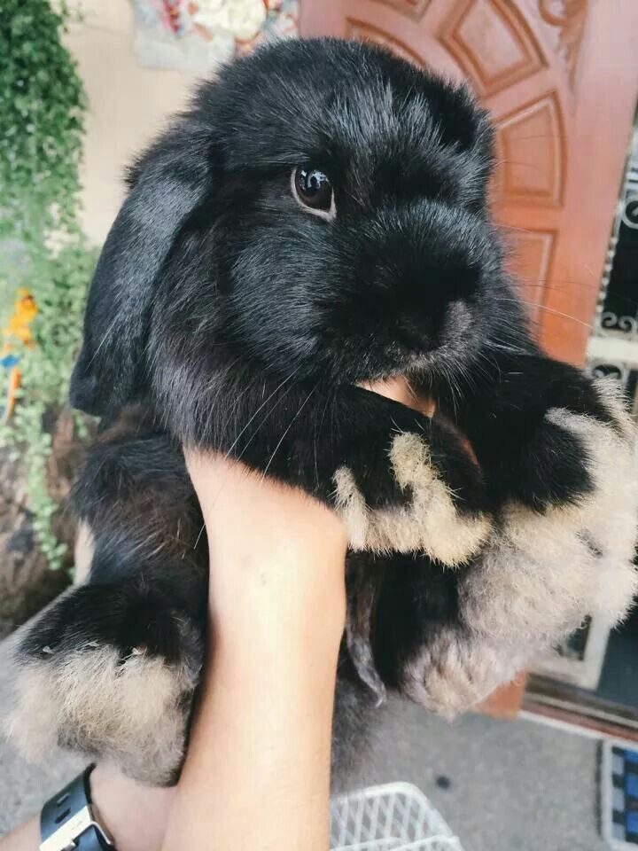 Beautiful black Lop bunny