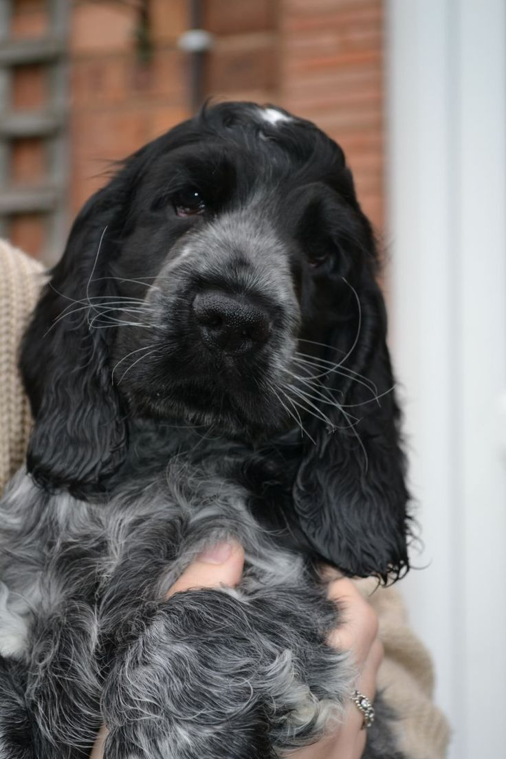 Lovely litter of show type cocker spaniel puppies, only one blue roan boy available now. Mum is Esme, my blue roan and dad is Charlie, also a blue roa...