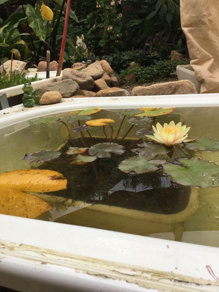 Water lily in a bath tub