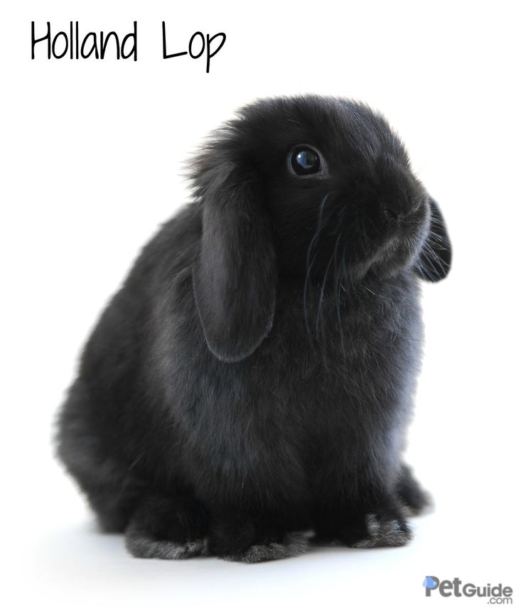 Holland Lops pose similarly to a cat, resting mostly on their hind legs and only slightly on their two front ones.