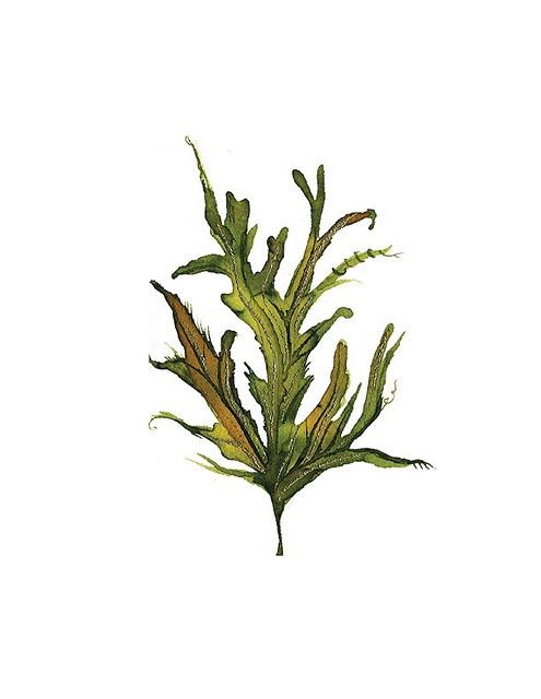 17 best images about seaweed on pinterest flora vintage and antiques. Black Bedroom Furniture Sets. Home Design Ideas