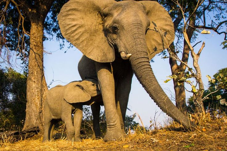 Elephants have four distinct personalities that help their herd survive in the   African bush, scientists have found.