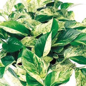 Marble Queen Pothos  One Of Over 400+ Varieties From Exotic Angel Plants®
