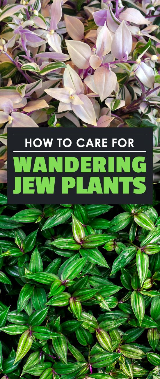 The wandering jew plant is not a single plant — it refers to 3 different types of houseplants! Learn how to grow them in this in-depth care guide.