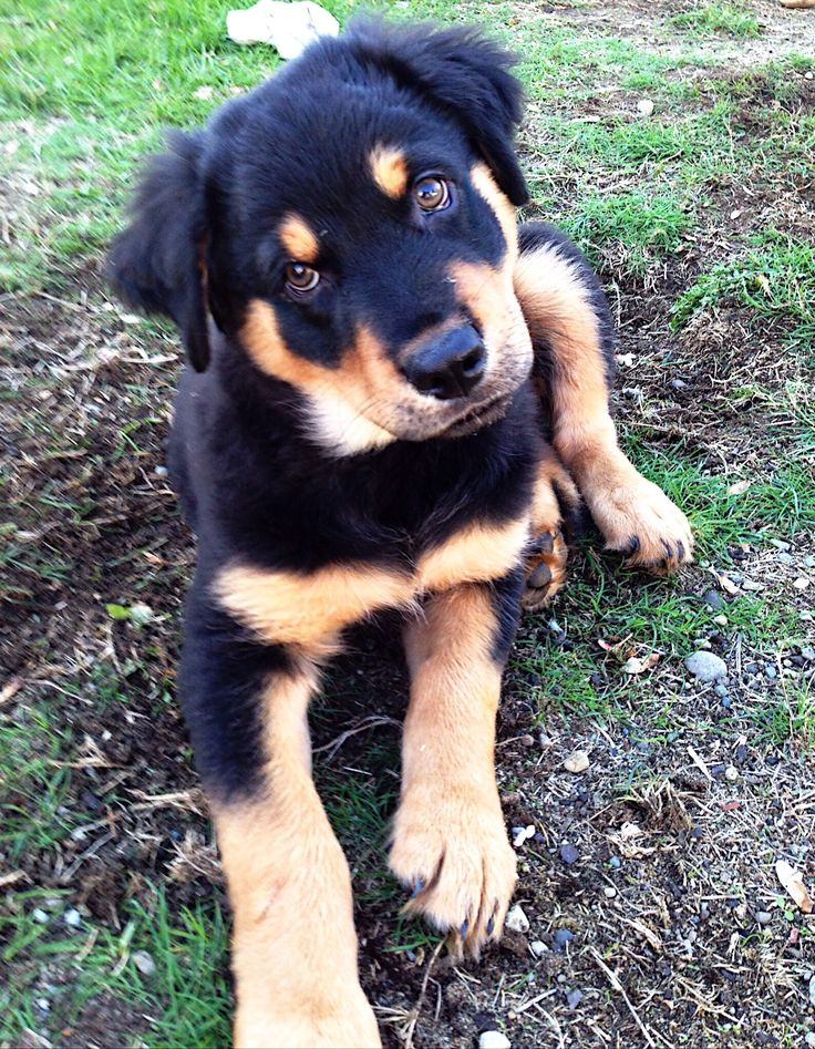 Hey Rottie lovers. Need a dog sitter soon? Go to http