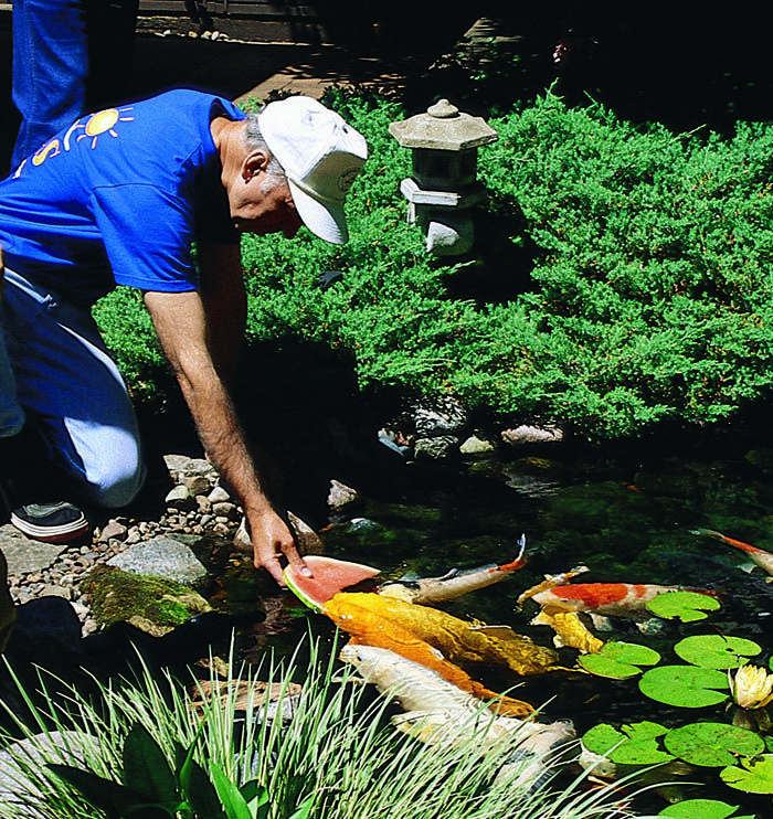 Backyard ponds make fish keeping fun pond backyard and water features for Koi pond keeping