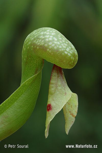 Cobra Lily - California Pitcher plant - I pinned this one because it looks like a snake.