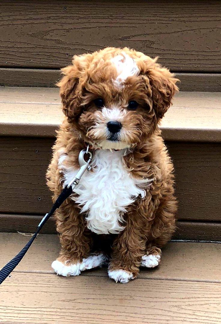 """10 week old Cavapoo, weights just under 5 lbs. He was named Archie for his coloring as well as our daughter's obsession with the TV show """"Riverdale"""". Riverdale is the fictional town where most of the characters appear in Archie Comics. He's came to us almost three weeks ago from a breeder in Ohio. He's a super smart puppy who is practically house-trained already and can sit, speak and give his paw on command."""
