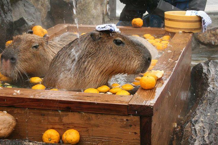 Yuzu Onsen,Capybara ( Nasu Animal Kingdom Official Blog )