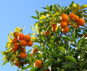 How to Care for an Orange Tree | Garden Guides