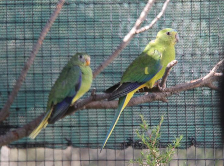 Moonlit Sanctuary. First OBP fledgling with mother, 13 January, 2015