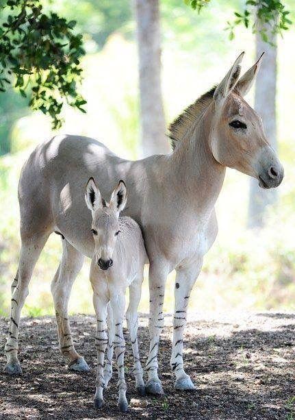 Beautiful SOMALI Wild Donkey, Mama and her foal ❤️ The ancestors of domesticated Donkeys...Critically endangered.