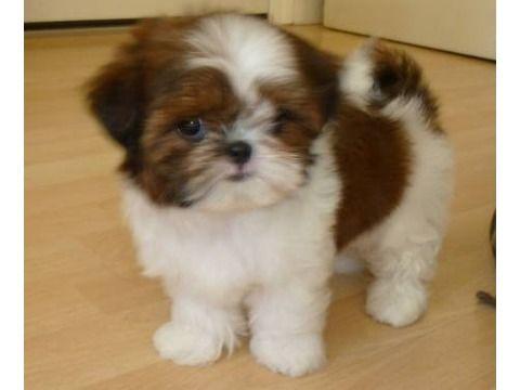 AKC pure bred SHIH TZU puppy