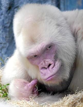 Floquet de Neu, Little SnowFlake, Nfumu Ngui was found and kept by Jordi Sabater Pi, a Catalan ape specialist and scientist , on October 1st, 1966.
