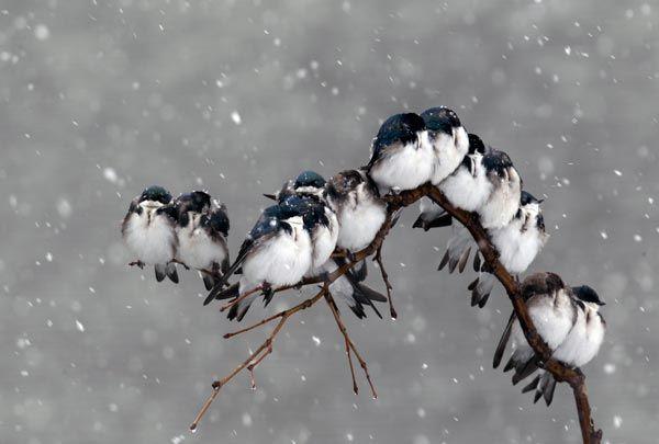 Birds in a Spring Snowstorm