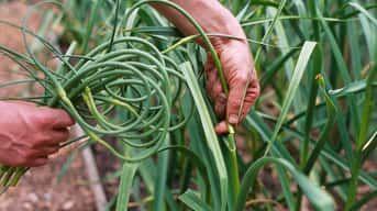 Kedy zberať cesnak: Viete odhadnúť tú správnu chvíľu?
