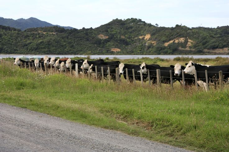 Bovine line-up, Coroglen