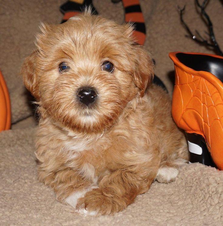 2 Cute Havanese in Texas Find your Havanese Puppy Good