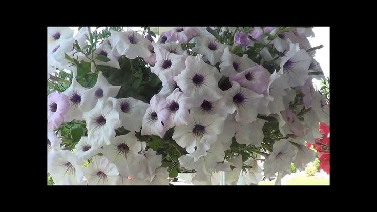 Petunias care, growing petunia flowers. Great Short simple tip. ~JML