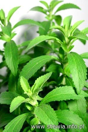 Roślina stewia (Stevia rebaudiana)