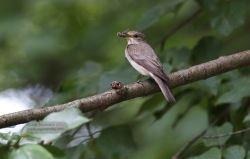 Gobemouche gris - Spotted Flycatcher - Grauschnäpper - Muscicapa striata