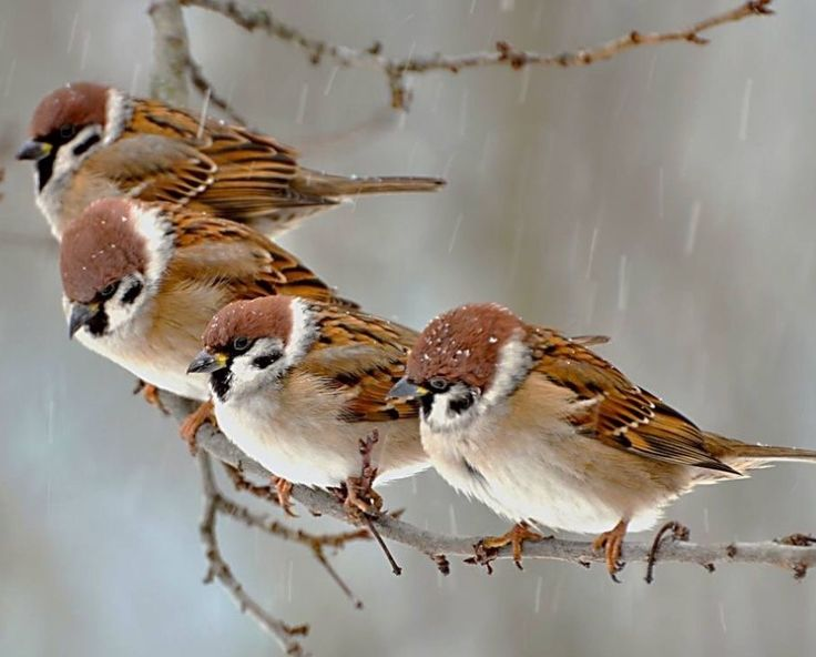 Four Sparrows on a Twig ....