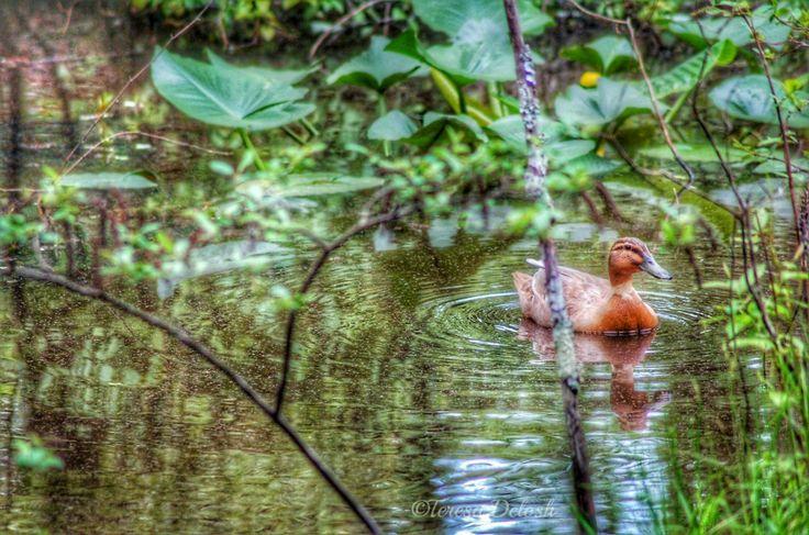 #Pond with #Duck 2 #Landscape #Photograph