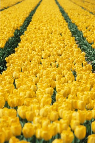 Yellow Tulips! The rows of flowers representing progression. The flowers growing into their full potential.