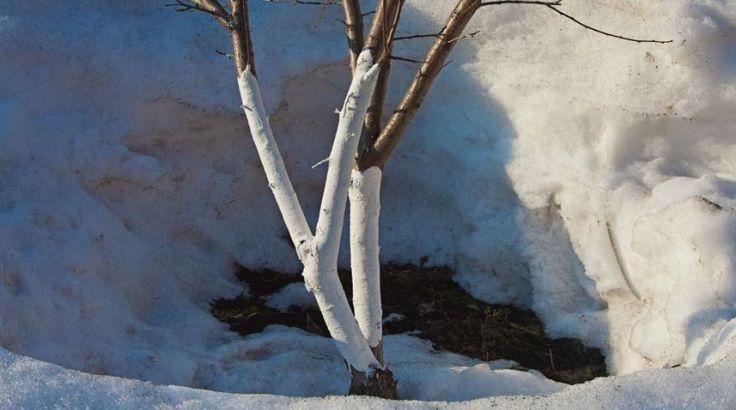Опрыскивание и побелка плодовых деревьев ранней весной