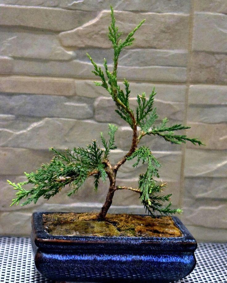 Kínai boróka  (Juniperus chinensis) pre bonsai