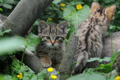 incensewoman:    cybergata:    Junge Wildkatze by Joachim S. Müller on Flickr.  European Wild Kittehs 2    Beautiful cats.  The Incensewoman