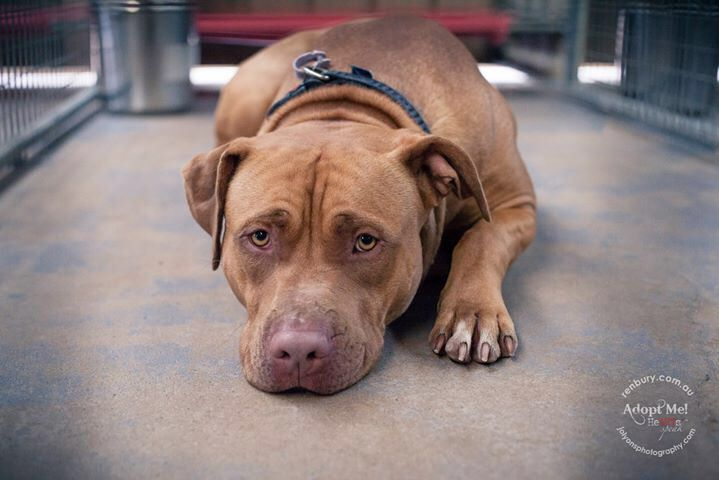 """Have you ever seen a face that says """"I want to go home to my family"""" more than this boy? He came in late today, he is microchipped so let's hope his family are waiting at the gate to pick him up when Renbury Farm Animal Shelter first opens in the morning."""