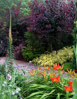 Two plants I want in my garden featured here together! Purple leaf sand cherry standards are underplanted with golden Japanese forest grass...breath taking!
