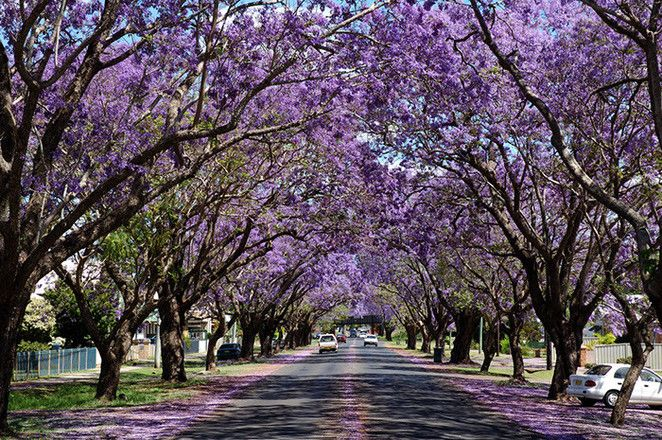 This is the poster for, I think the 30th Jacaranda Festival held annually at Grafton a country town north of Sydney where the streets are predominantly lined by Jacaranda trees. A Jacaranda Queen for the year will also be crowned. Check out http://www.jacarandafestival.org.au/main.html  If I ever return to Mossman a town on the way to Daintree after Port Douglas in North Queensland, I will take a photo of its main street lined with Rain-trees.