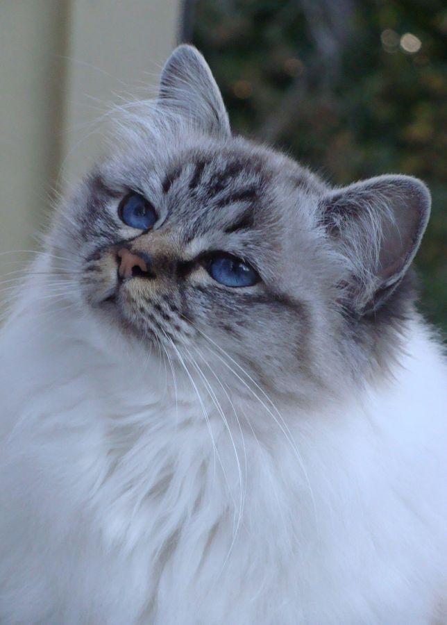 Chatterie d'Avillon, eleveur de chat Sacré de Birmanie, Birman, en Belgique
