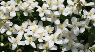 LA clématite armandii offre un beau feuillage persistant et une magnifique floraison blanche. L'entretien, de la plantation à la floraison permet une belle croissance et éviter les maladies
