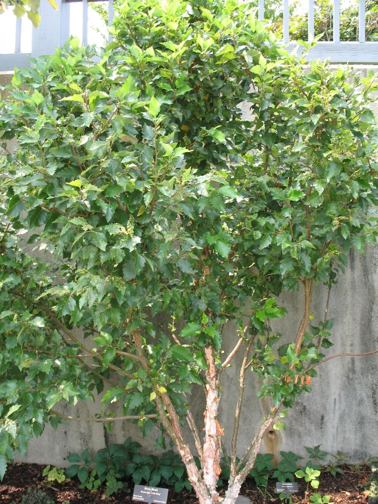 Betula nigra 'Little King'   / Betula nigra 'Little King'   - OnlinePlantGuide.com 1688 height: 8-10; spread: 10-15