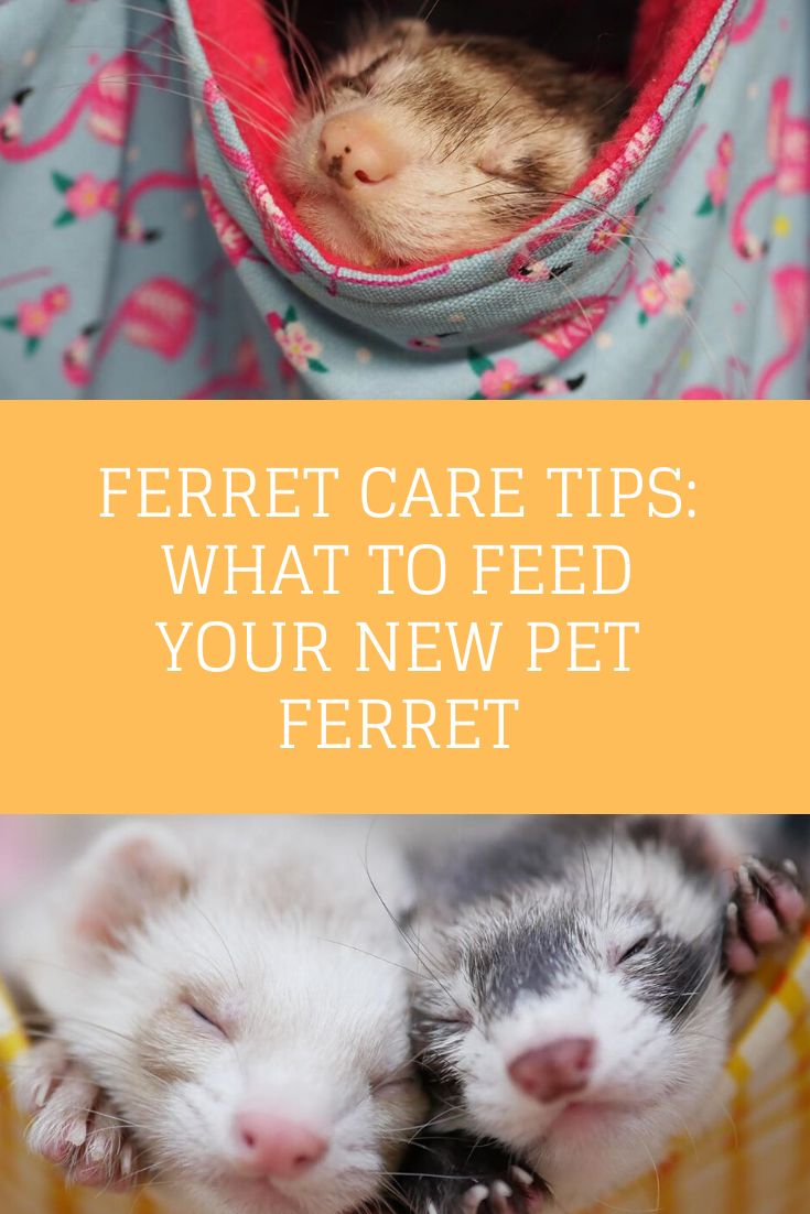 100 Of What You Need To Know About Ferret Care Ferrets Care Pet Ferret Ferret
