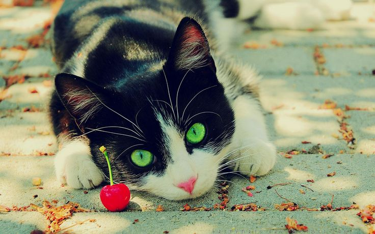 Cherry: Cat Wallpapers, Tuxedos Cat, Animal Photography, Funny Cat, Neon Green, Adorable Kittens, Fruit Animal, Cherries, Green Eye