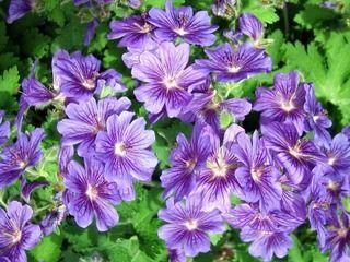 17 best ideas about geranium vivace on pinterest plante for Vivace retombante
