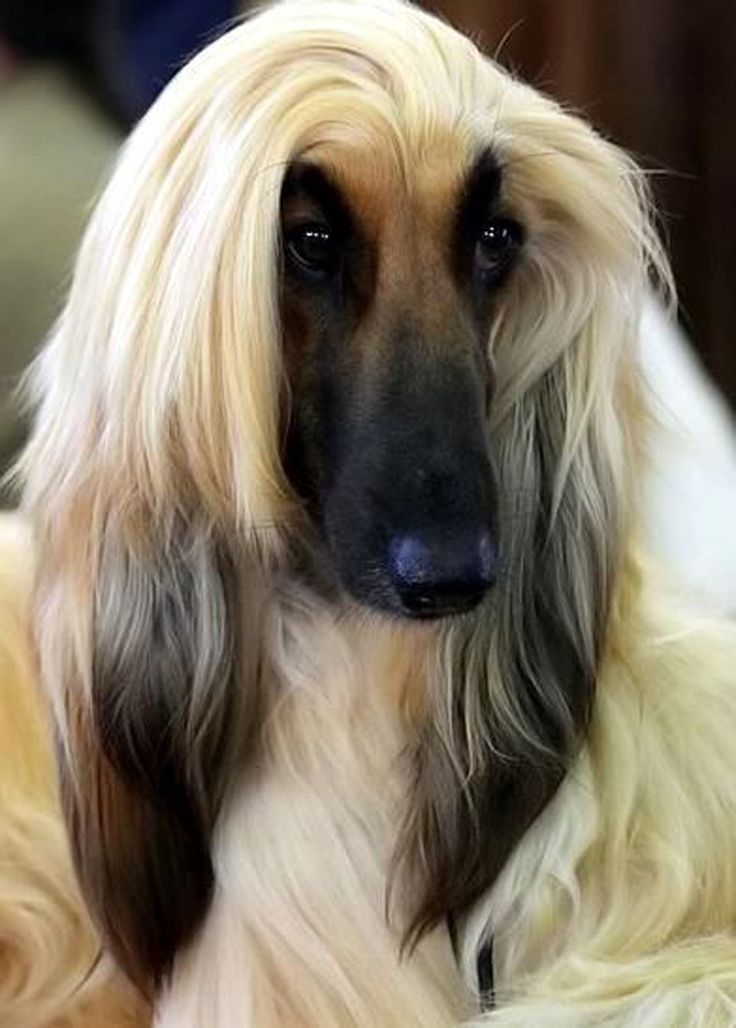 10 Images About Afghan Hounds On Pinterest Beautiful