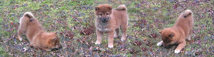 Kawako shiba inu breeder in washington state